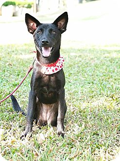 Shepherd (Unknown Type)/Labrador Retriever Mix Puppy for adoption in San Mateo, California - Peggy
