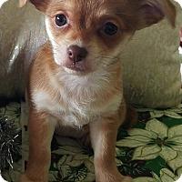 Adopt A Pet :: Leia - La Habra Heights, CA