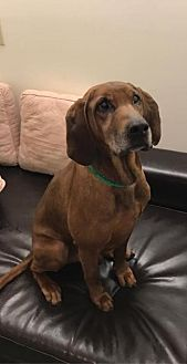 Redbone Coonhound Dog for adoption in Cincinnati, Ohio - Norman