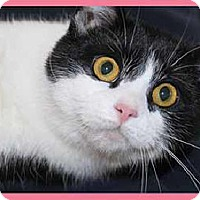 Domestic Shorthair Cat for adoption in South Bend, Indiana - Demelza