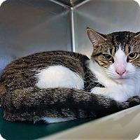 Adopt A Pet :: Gorgeous George - Monroe, MI