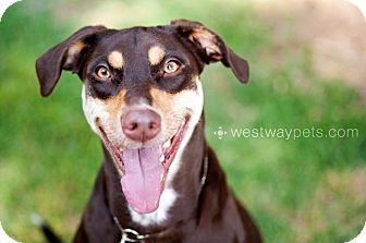 Doberman Pinscher/Labrador Retriever Mix Dog for adoption in Santee, California - Coco