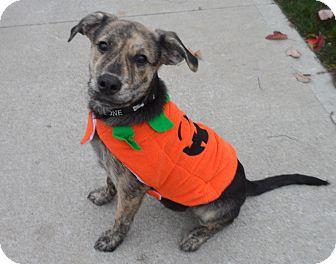 Labrador Retriever/Carolina Dog Mix Puppy for adoption in Westfield, Indiana - Joey