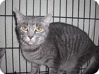 Domestic Shorthair Cat for adoption in Webster, Massachusetts - Fiona