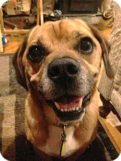 Pug/Beagle Mix Dog for adoption in North Olmsted, Ohio - Bruno