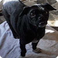 Adopt A Pet :: Pug X - Aloha, OR