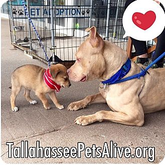 American Staffordshire Terrier Mix Dog for adoption in Tallahassee, Florida - Zeke