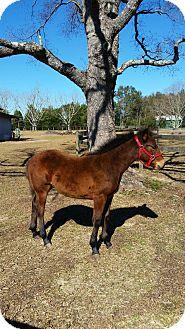 Quarterhorse Mix for adoption in Cantonment, Florida - Chance