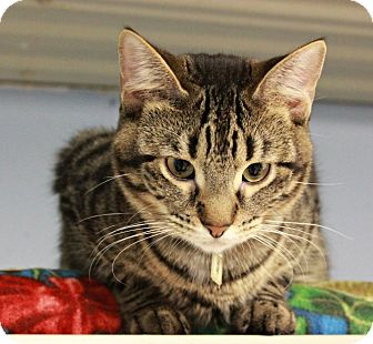 Domestic Shorthair Kitten for adoption in New Richmond,, Wisconsin - Ashe