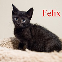 Adopt A Pet :: Felix - Baltimore, MD