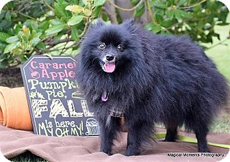 Pomeranian Dog for adoption in Edmond, Oklahoma - Freddy