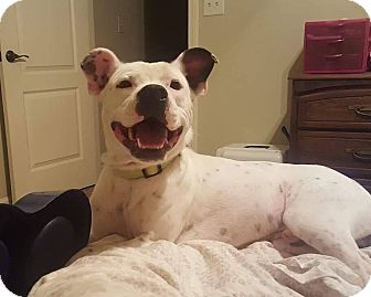 American Pit Bull Terrier Mix Dog for adoption in Auburn, Massachusetts - Pablo