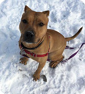 American Staffordshire Terrier Mix Dog for adoption in Oak Park, Illinois - Reggie