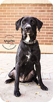 Poodle (Standard)/Pit Bull Terrier Mix Dog for adoption in Mooresville, North Carolina - Diesel