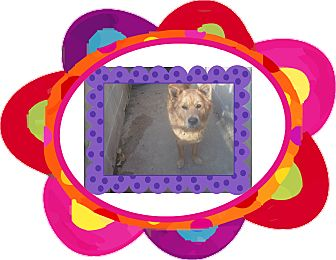Chow Chow Mix Dog for adoption in KELLYVILLE, Oklahoma - PHOENIX