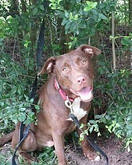 Labrador Retriever/Pit Bull Terrier Mix Dog for adoption in Beaumont, Texas - Astro