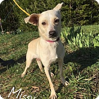Terrier (Unknown Type, Medium)/Chihuahua Mix Dog for adoption in Centreville, Virginia - Missy