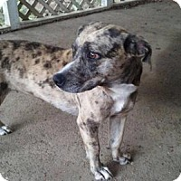 Basset Hound/Catahoula Leopard Dog Mix Dog for adoption in Bristol, Tennessee - Ruby