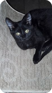 Domestic Shorthair Kitten for adoption in Sterling Hgts, Michigan - Prince Charming (loud purr)