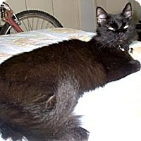 Domestic Longhair Cat for adoption in Los Angeles, California - Gilda