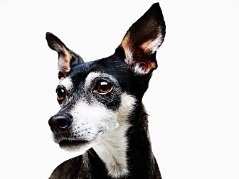 Miniature Pinscher/Manchester Terrier Mix Dog for adoption in los Angeles, California - Sargent the Underdog