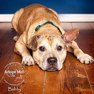 American Staffordshire Terrier Dog for adoption in Voorhees, New Jersey - Bobby