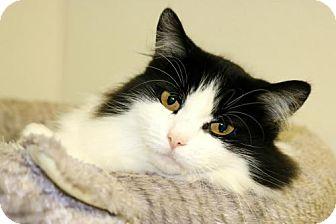 Domestic Longhair Cat for adoption in Mocksville, North Carolina - Mandy