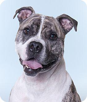 American Bulldog Mix Dog for adoption in Chicago, Illinois - Graham
