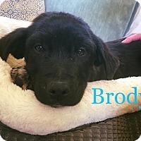 Adopt A Pet :: BRODY - Berwick, ME