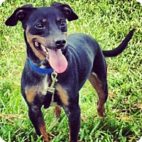 Miniature Pinscher Mix Dog for adoption in Royal Palm Beach, Florida - Twix