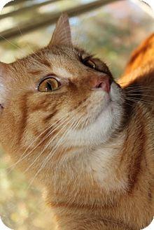 Domestic Shorthair Cat for adoption in Byron Center, Michigan - Finnigan