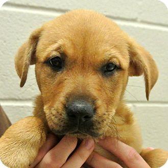 Labrador Retriever/Shepherd (Unknown Type) Mix Puppy for adoption in white settlment, Texas - Haley