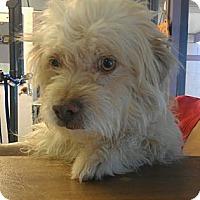 Adopt A Pet :: Tickle Me Elmo - NON SHED! - Phoenix, AZ