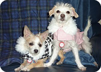 Maltese/Terrier (Unknown Type, Small) Mix Dog for adoption in Los Angeles, California - Roxy and Daisy