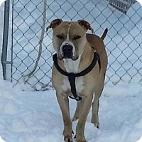 Staffordshire Bull Terrier Mix Dog for adoption in Heber City, Utah - Shiloh