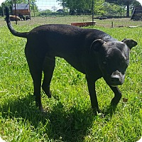Pit Bull Terrier/Labrador Retriever Mix Dog for adoption in Eustace, Texas - PupPup