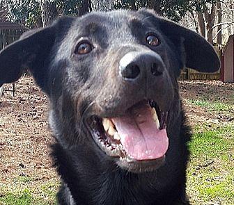 Labrador Retriever Mix Dog for adoption in Roswell, Georgia - Zeus
