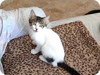 Domestic Shorthair Kitten for adoption in Bulverde, Texas - Tara