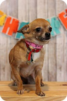 Chihuahua Dog for adoption in Waldorf, Maryland - Pebbles