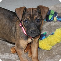 Adopt A Pet :: *Macy - PENDING - Westport, CT