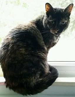 Domestic Shorthair Cat for adoption in Taylor, Michigan - Cali