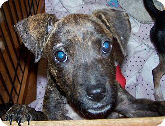 Boxer/Terrier (Unknown Type, Medium) Mix Puppy for adoption in Greensboro, Georgia - Kisha