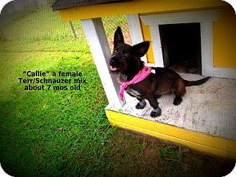 Schnauzer (Standard)/Terrier (Unknown Type, Small) Mix Dog for adoption in Gadsden, Alabama - Callie