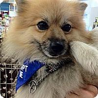 Adopt A Pet :: Rizo - Toluca Lake, CA