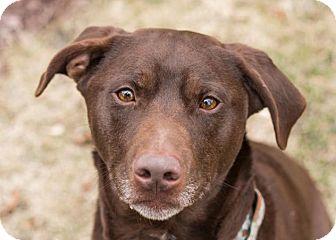 Labrador Retriever Mix Dog for adoption in South Bend, Indiana - Reese
