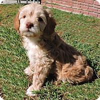 Adopt A Pet :: Leo - La Habra Heights, CA