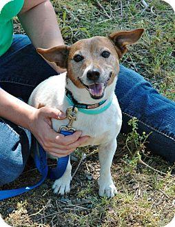 Jack Russell Terrier Dog for adoption in Blue Bell, Pennsylvania - Regan