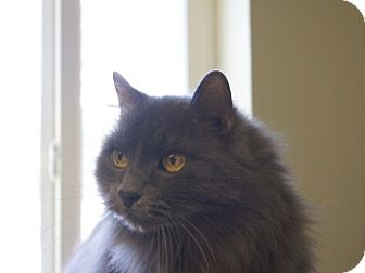 Domestic Longhair Cat for adoption in Libby, Montana - Bob