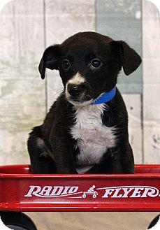 Terrier (Unknown Type, Medium) Mix Puppy for adoption in Waldorf, Maryland - Carl
