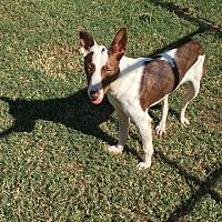 Border Collie Mix Dog for adoption in Seneca, South Carolina - Chico